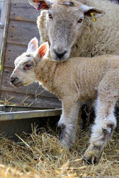 Happy Easter! Cute lamb and sheep
