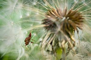 Bug in dandelion