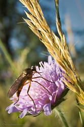 20140615 Insekt lilaBlume Korn DSC6882 by MatzeR