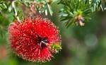 Red Tree Flower