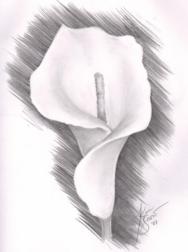 pencil botanical drawings     Calla Lily I        Lavendar Lily    Lily Flower Drawings In Pencil