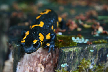 salamandra by Belikeme
