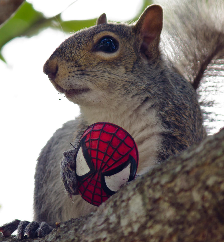 spider squirrel Gallery