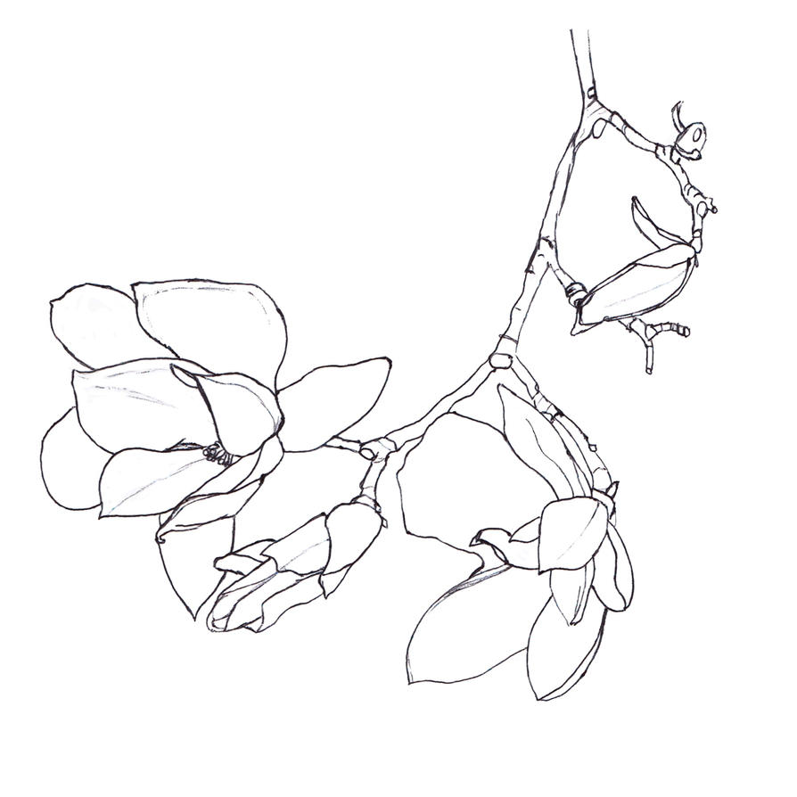 Magnolia Flower Line Drawing : Magnolia outline by elvenmaedchen on deviantart