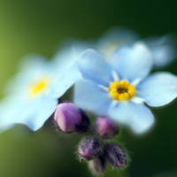 Forget me Not~