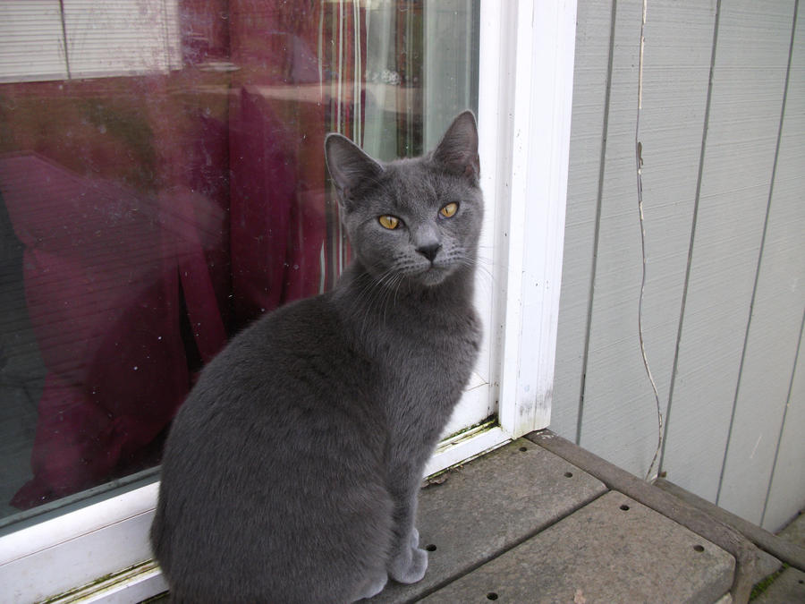 Russian Blue Mix cat by NokomisMoonDreamer on DeviantArt