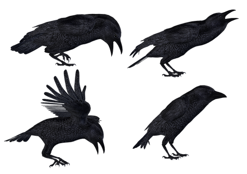 Crows 2 PNG Stock