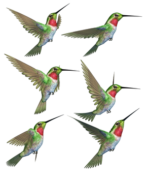 Humming Birds-1 PNG Stock