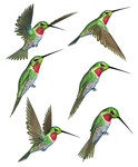Humming Birds-2 PNG Stock