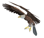 Eagle 03 PNG Stock