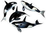 Killer Whale PNG Stock