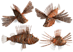 Lion Fish PNG Stock