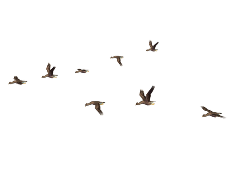 Flying Birds 04 PNG Stock
