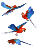 Scarlet Macaw PNG Stock