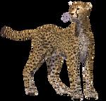 Cheetah 02