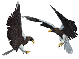 Sea Eagle 01 PNG Stock by Roy3D