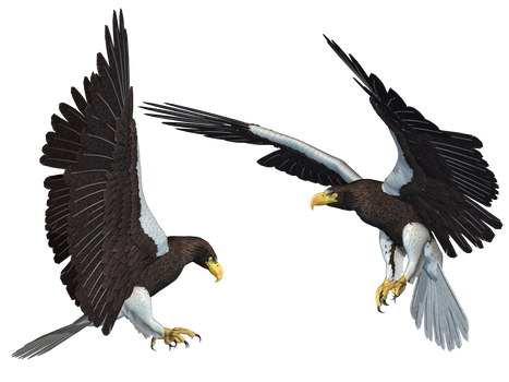 Sea Eagle 01 PNG Stock