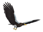 Sea Eagle 02 PNG Stock