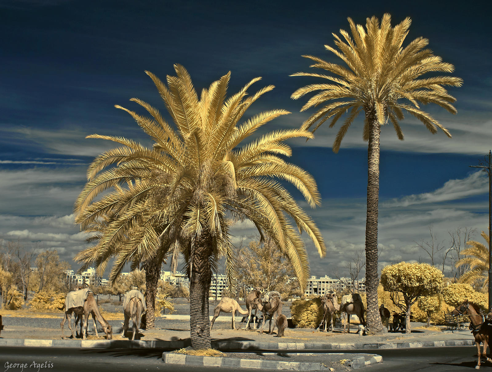 Palms and Camels by agelisgeo