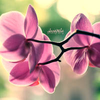 orchid  s q u a r e.many by juul07