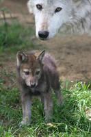 baby wolf by alspc