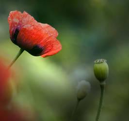 Wild Poppy by juliegraham