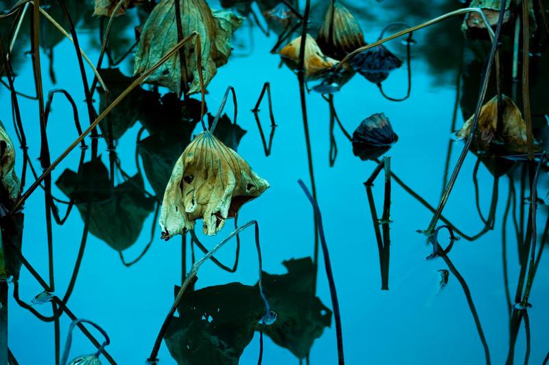 Lotus awaiting revival