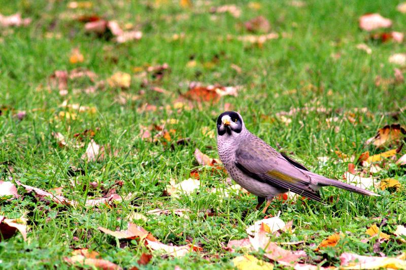 Australian Birds Noisy Miner