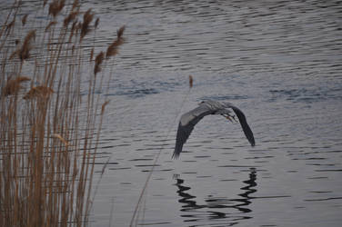 Great Blue Heron flying by tomegatherion