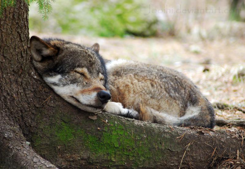 sleepy_wolf_by_jooihi-d3e1tgx.jpg