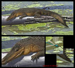 Susisuchus anatoceps