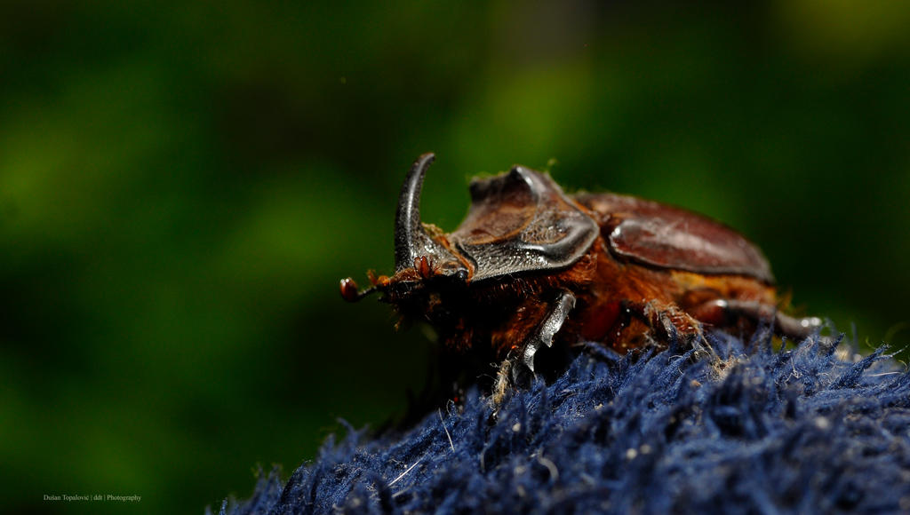 Horned Beetle. by ddt-dooshan