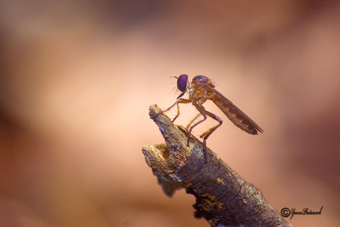 Mini Robberfly by philatmeartwork