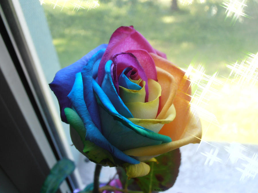 Rainbow rose by the right girl1 on deviantart for Where to buy rainbow roses