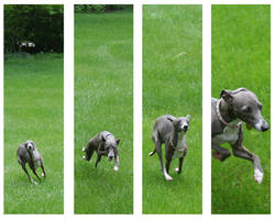 Running Italian Greyhound