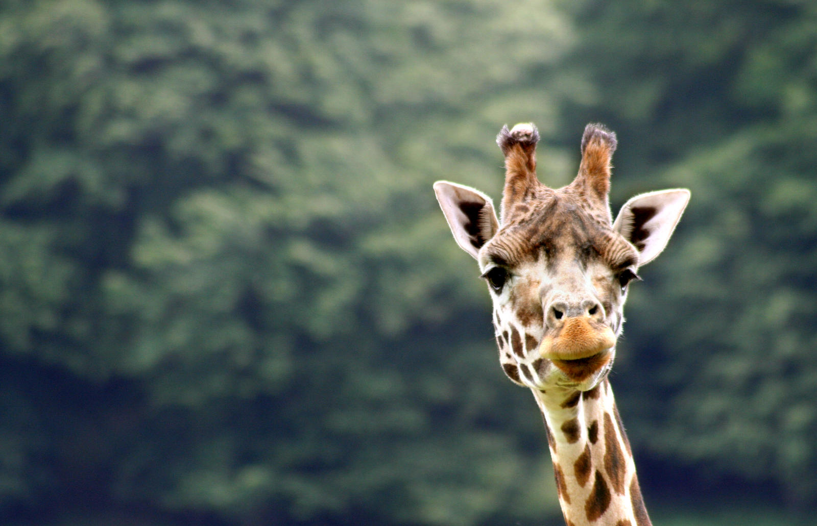Giraffe by lewisjbirch