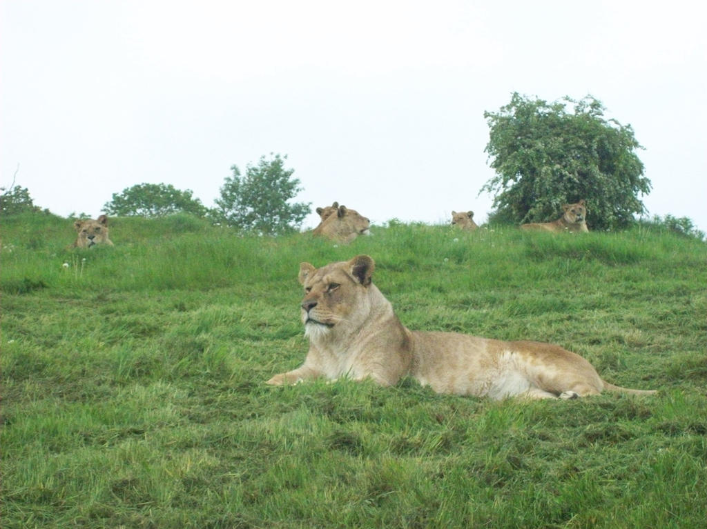 Woburn's Lionesses by KingLeoLionheart