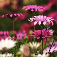pink by MrsViolet