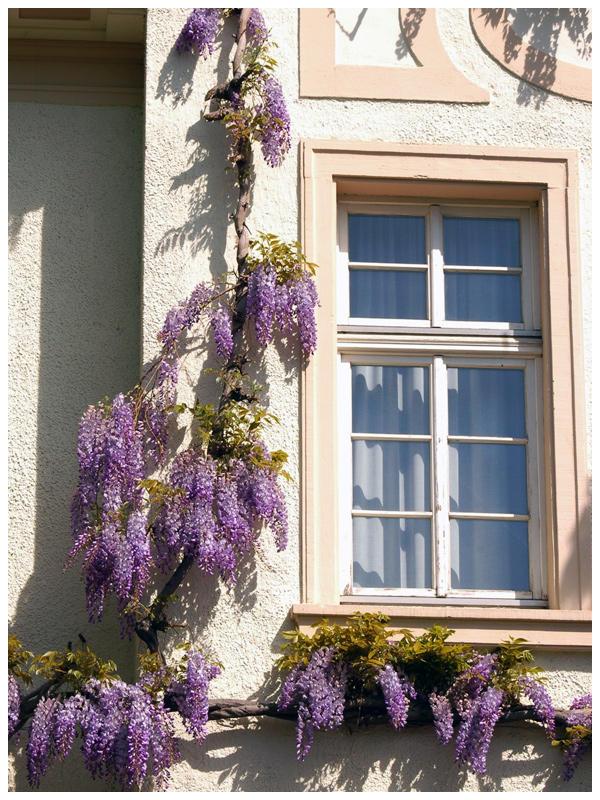 Lilac by Fox82