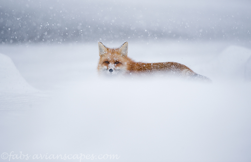 Mountain Fox in Snow by FForns