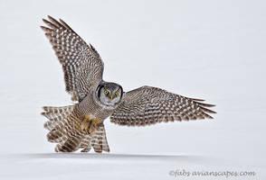 Northern Hawk Owl by FForns