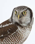 Northern Hawk Owl Portrait