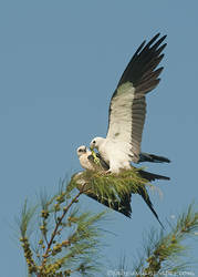 Swallow tailed Kites by FForns