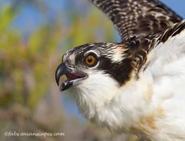 Osprey Juvenile by FForns