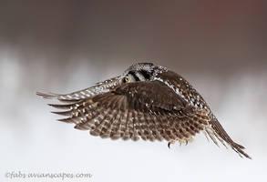 Hawk Owl by FForns