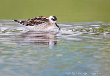 Red necked Phalarope by FForns