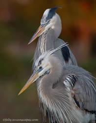 Wurdemann's Heron by FForns