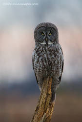 Great Gray Owl by FForns