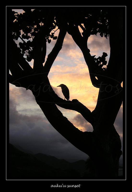 auku'u sunset by aja2