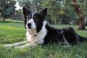 Border Collie Karra 1